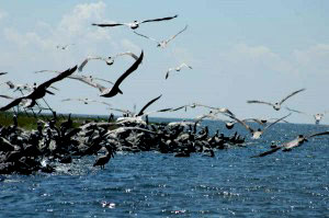 Brown Pelicans nesting grounds on a secluded island